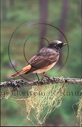 Rödstjärt   (Phoenicurus phoenicurus)