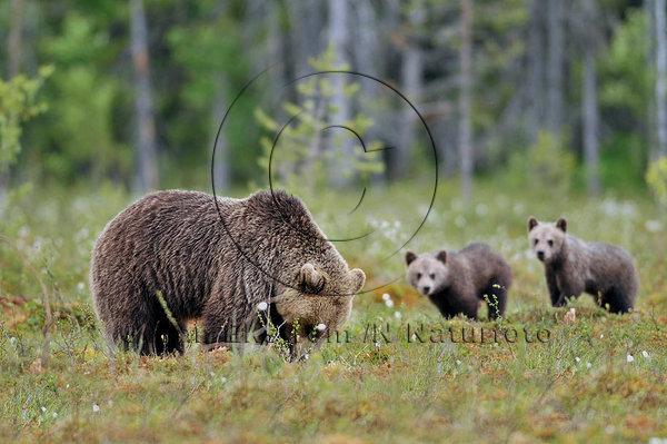 Björnhona med årsungar  (Ursus arctos)