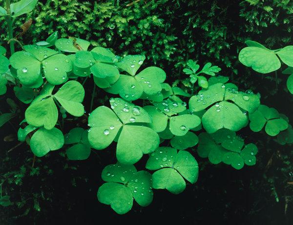 Blad från Harsyra(Oxalis acetosella).