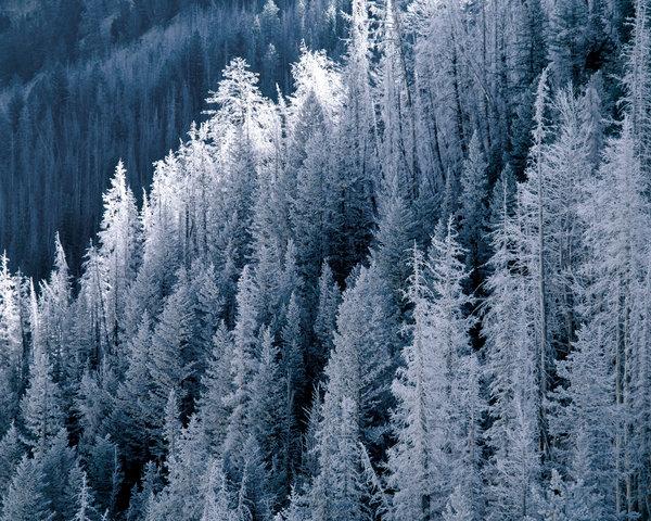 Granskog med frost .