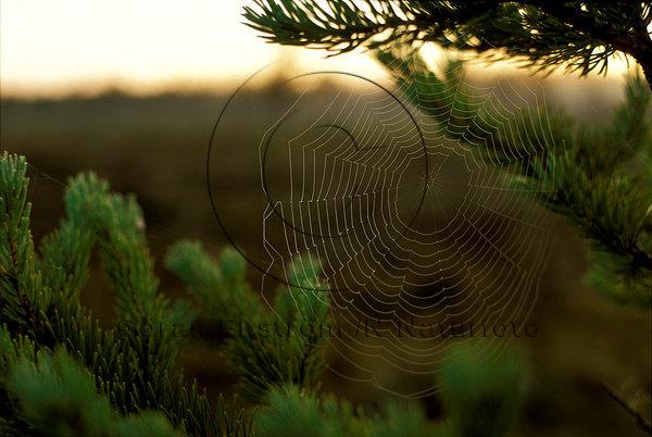 Daggdrpooar i spindelnät