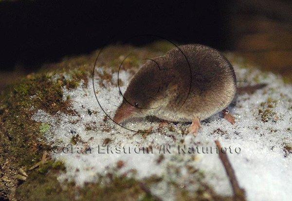 Vanlig näbbmus  (Sorex araneus)
