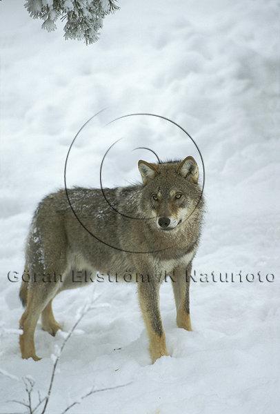 Varg  (Canis lupus)