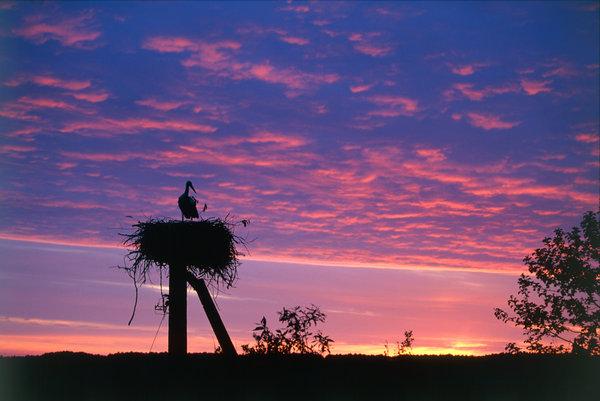 Vit stork (Ciconia ciconia) på bo.