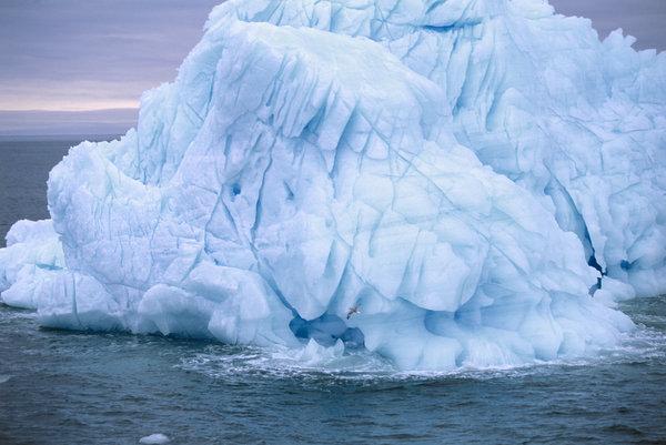 Stormfågel (Fulmarus glacialis) flyger vid isberg.