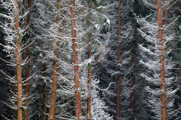 Gran, Picea abies, med nysnö.