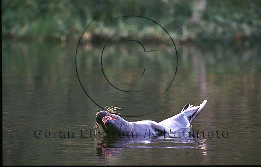 Gråsäl   (Halichoerus grypus)