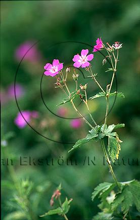 Midsommarblomster, skogsnäva    (Geranium sylvaticum)