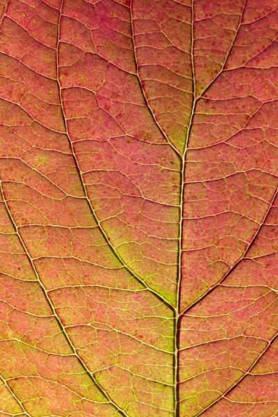 Asp, Populus tremula, blad i närbild.
