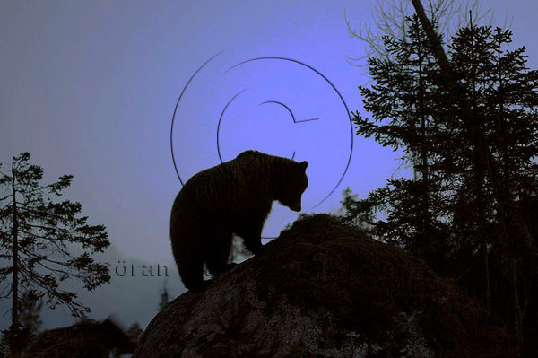 Björn (Ursus arctos)
