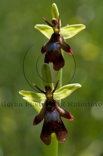 Flugblomster      (Ophrys insectifera)