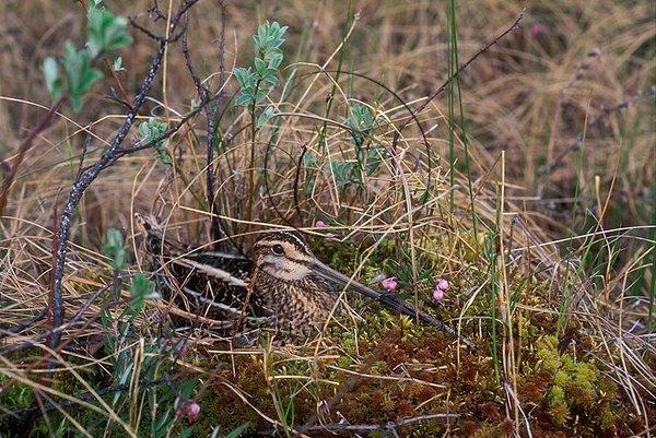 Enkelbeckasin  (Gallinago gallinago)
