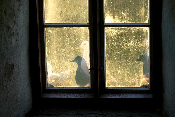 Tretåig mås, Rissa tridactyla, i fönster,
