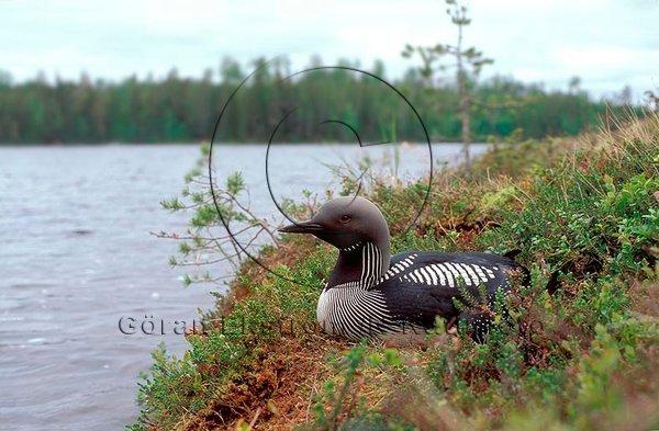 Storlom   (Gavia arctica)