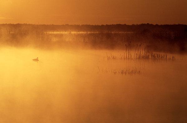 Kanadagås (Branta canadensis) i morgondimma.
