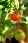 tomat800.jpg