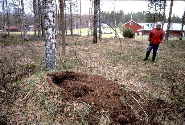 Av björn utgrävd myrstack