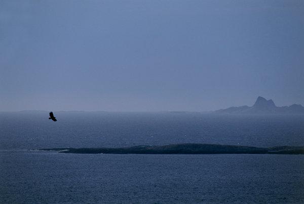 Havsörn (Haliaeetus albicilla) flyger över skärgården.