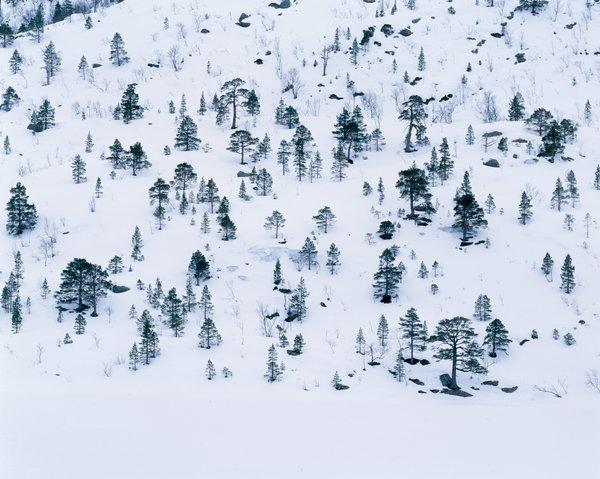 Tallar, pinus sylvestris, i vinterlandskap.