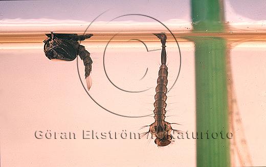 Puppa och larv av stickmygga   (Aedes sp)