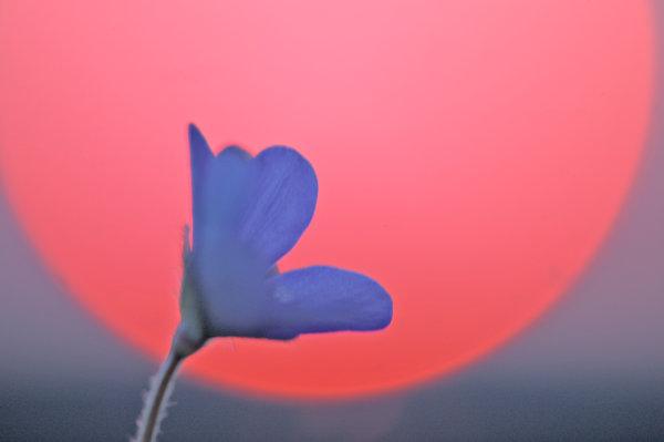 Blåsippa, Hepatica nobilis, i solnedgång.