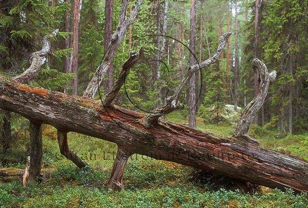 Murken trädstam