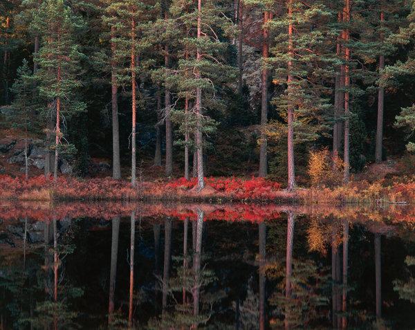 Tall, Pinus Sylvestris, vid skogstjärn.