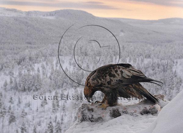 Kungsörn  (Aquila chrysaetos)
