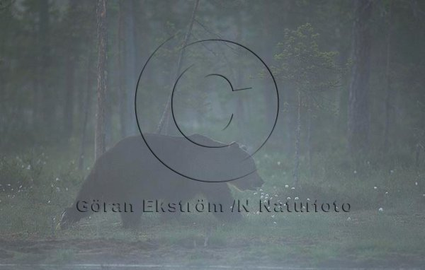 Brunbjörn (Ursus arctos)