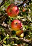 apple820.jpg