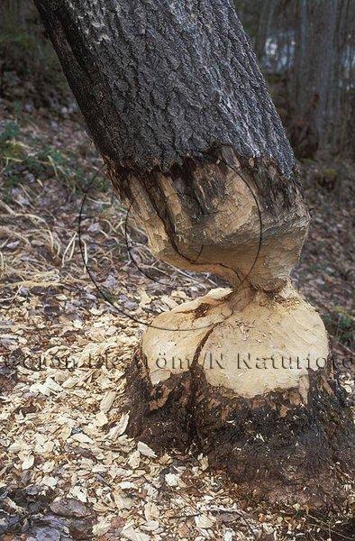 Bäverfällt träd