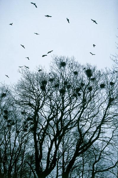Råka (Corvus frugilegus).