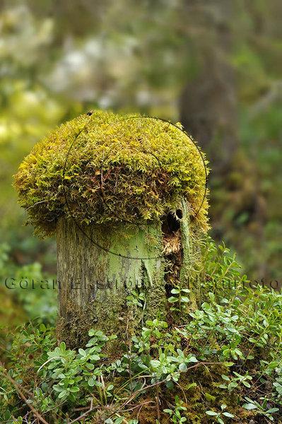 Mossig skogsstubbe
