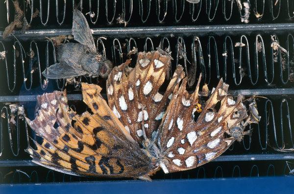 Död fjäril och fluga på bilkylare.