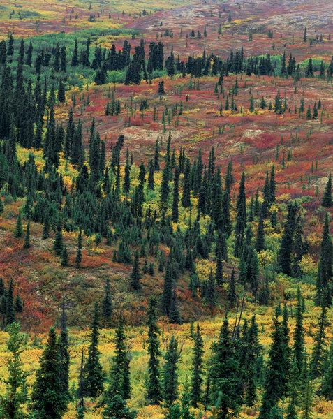 Granskog vid trädgränsen.