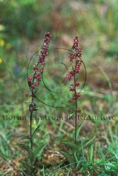 Purpurknipprot   (Epipactis atrorubens)