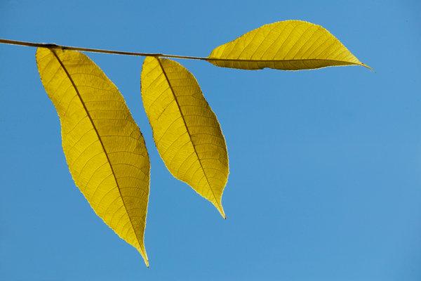 Jolster, Salix pentranda.