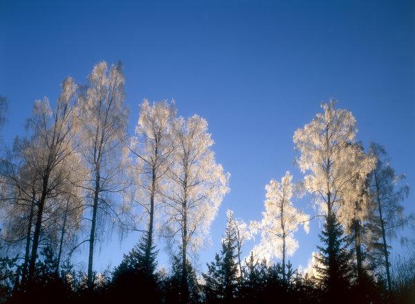 Vårtbjörk(Betula pendula) i frost.