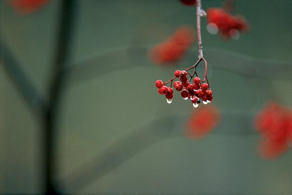 Rönnbär, Sorbus aucuparia.