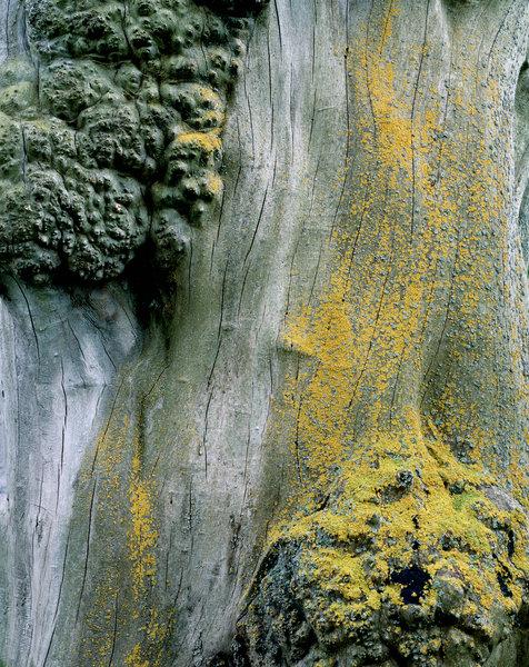 Lav,okänd art, på gammal ek (Quercus robur)