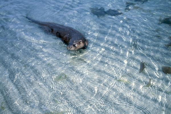 Utter (Lutra lutra) simmar.