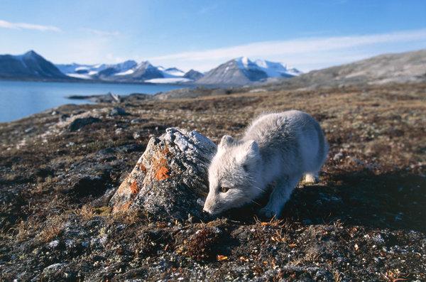 Fjällräv (Alopex lagopus) i landskapet.