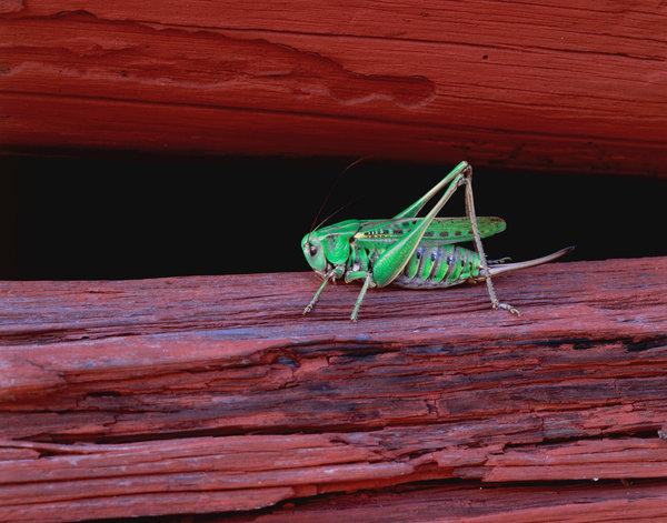 Vanlig vårtbitare (Decticus verrucivorus).