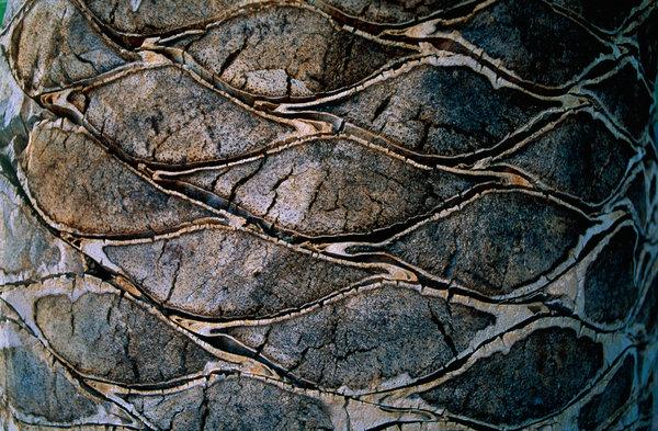 Kanariepalm, Phoenix canariensis, bark.