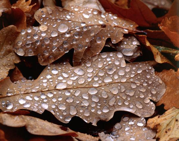 Ek, Quercus robur, vattendroppar på blad.