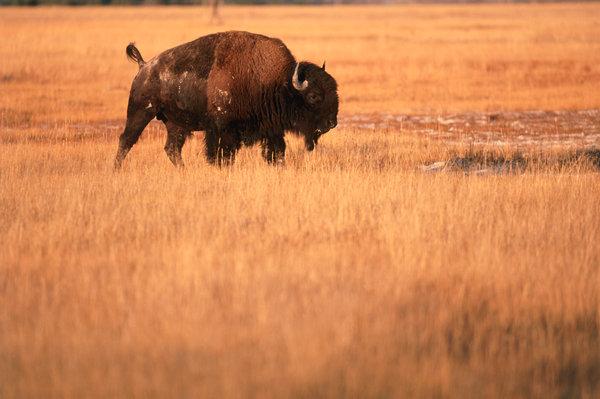 Bisontjur (Bison bison)