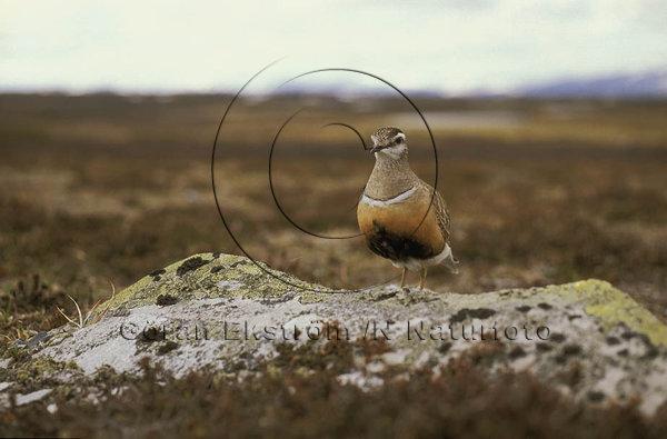 Fjällpipare   (Charadrius morinellus)