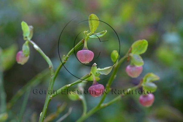 Blåbärsblommor  (Vaccinium myrtillus)