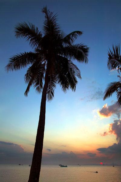 Palm i solnedgång.
