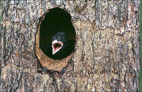Spillkråka   (Dryocopus martius)